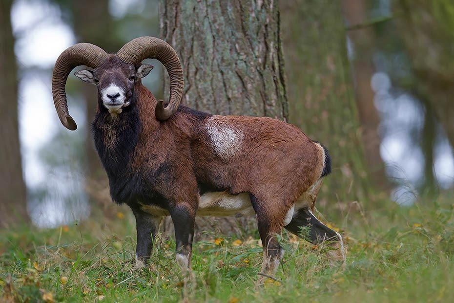 europaeischer mufflon die widder tragen grosse schnecken hoerner die weibchen koennen. Black Bedroom Furniture Sets. Home Design Ideas