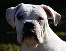 Valley Bulldog Canada Mixed Breed Of Bulldog And Boxer