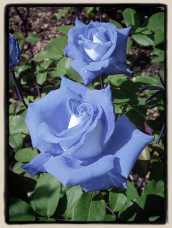 'Détresse Bleu' (not real but what rose breeders would hope for)