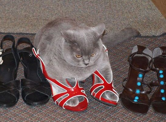 2b6e4b4b52e05 Cat Wearing Shoes | lolz | Funny cats, Cats, Pretty cats