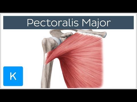 Pectoralis Major Muscle - Anatomy and Function - Human Anatomy ...