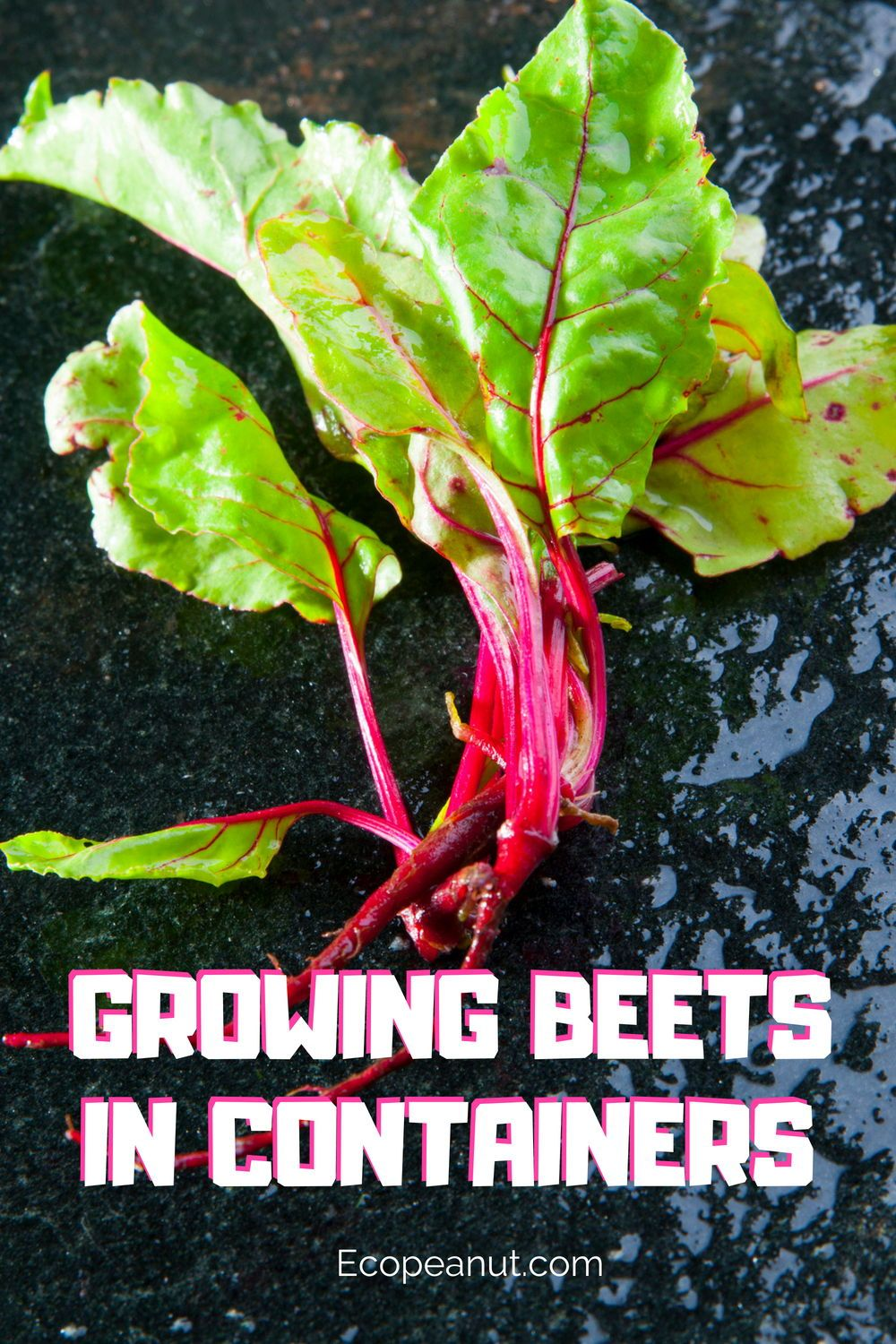 Growing beets in containers the simple and easy way
