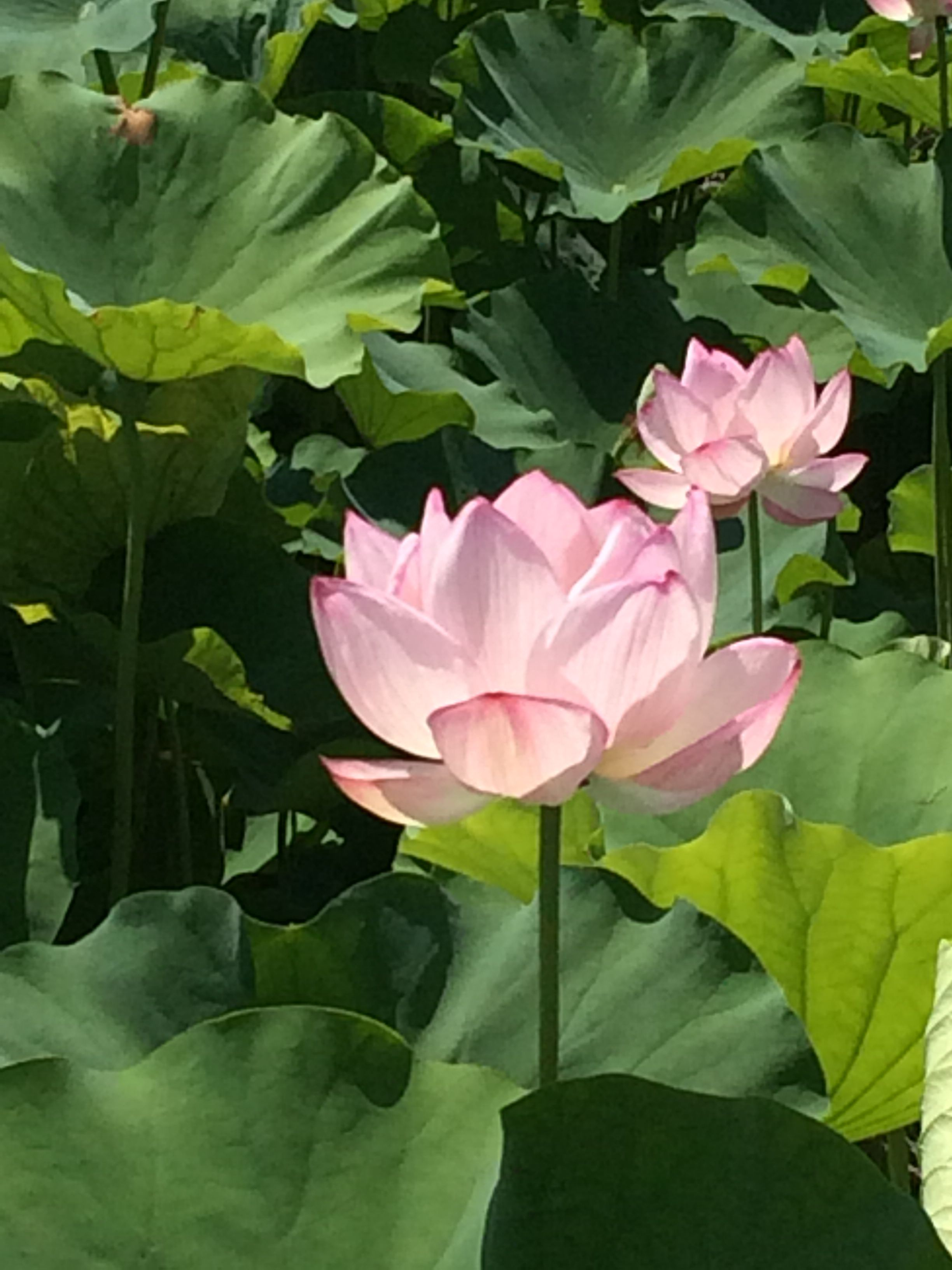 Lotus flower that i found were in bloom there in a very pretty look lotus flower that i found were in bloom there in a very pretty look izmirmasajfo