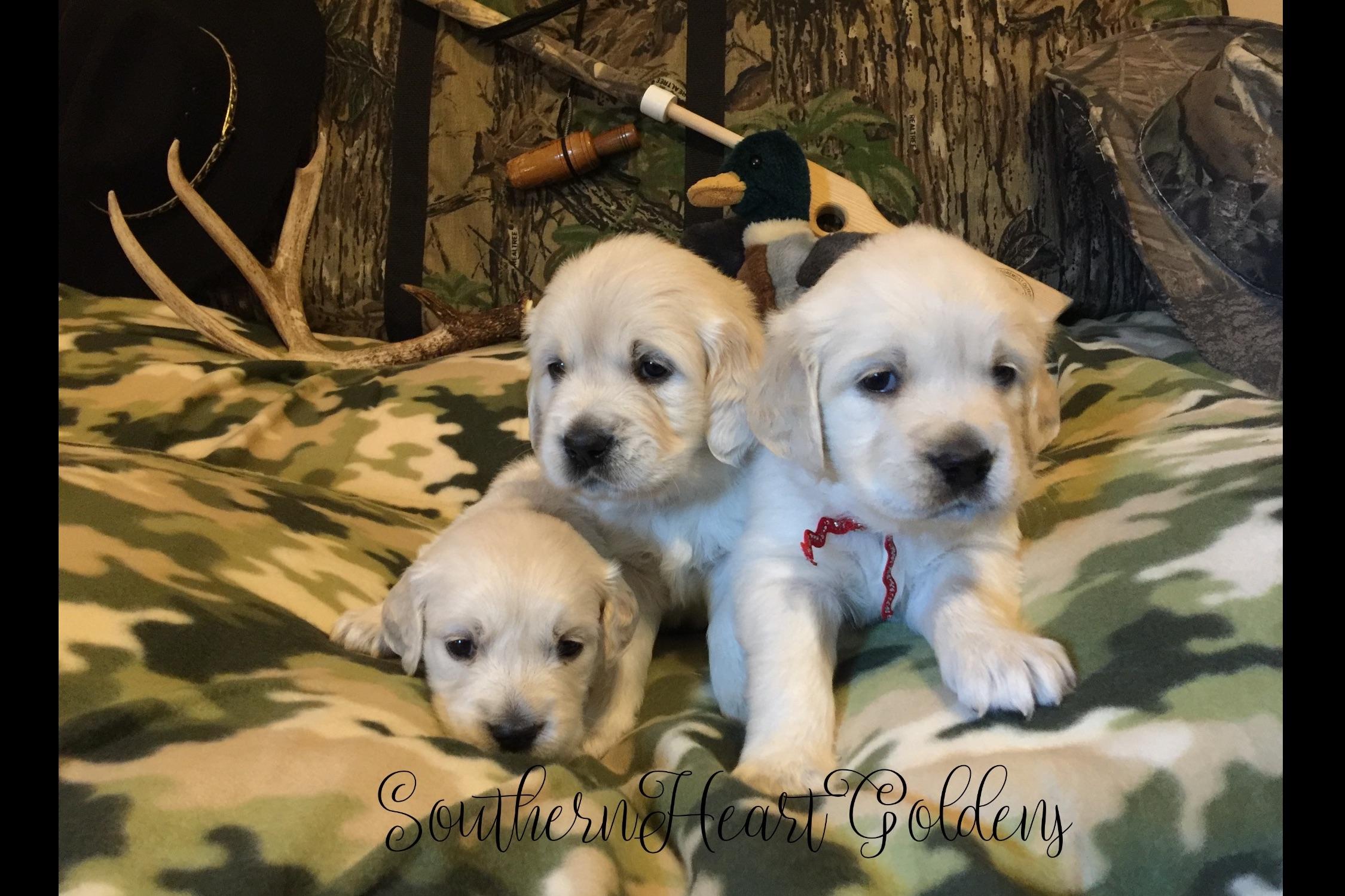 Southern Heart Goldens English Golden Retriever Puppies