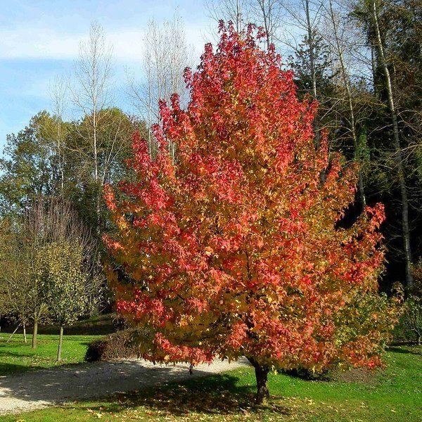 liquidambar styraciflua 39 worplesdon 39 planten bomen. Black Bedroom Furniture Sets. Home Design Ideas