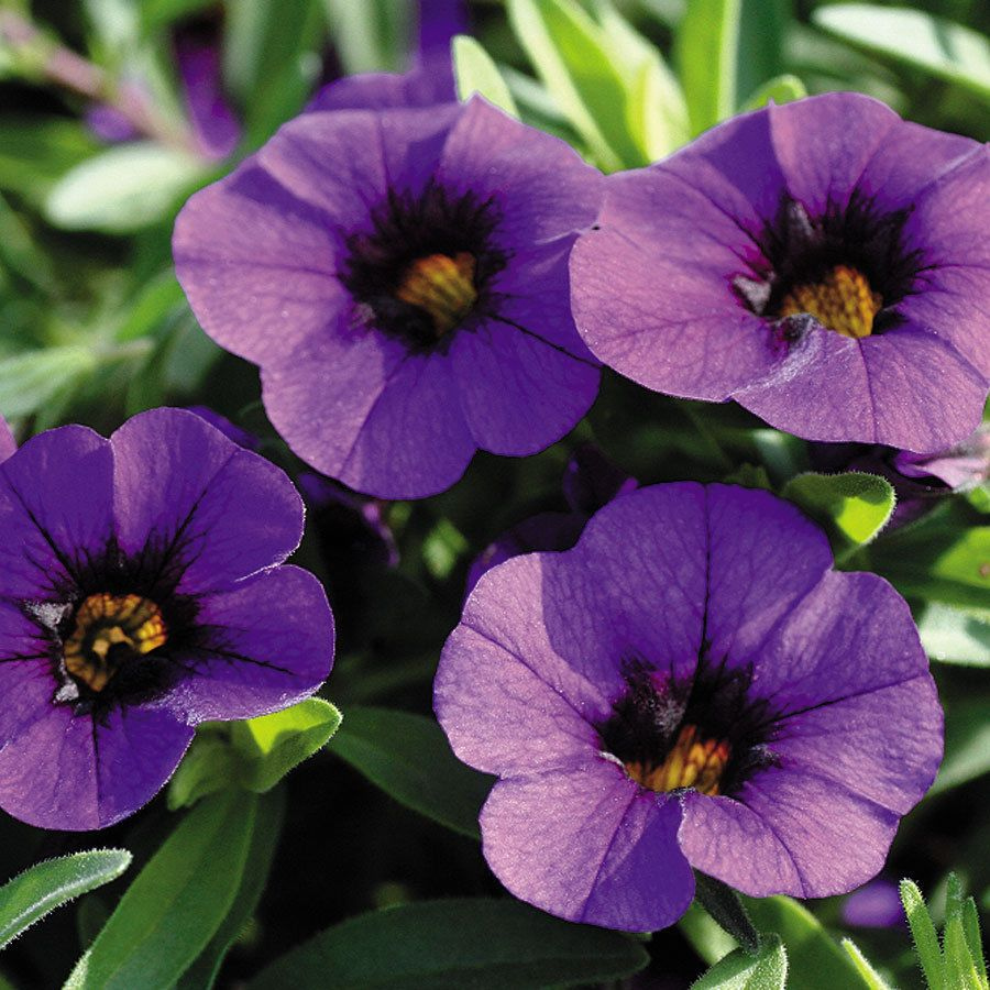 100 calibrachoa callie dark blue live plants plugs garden patio