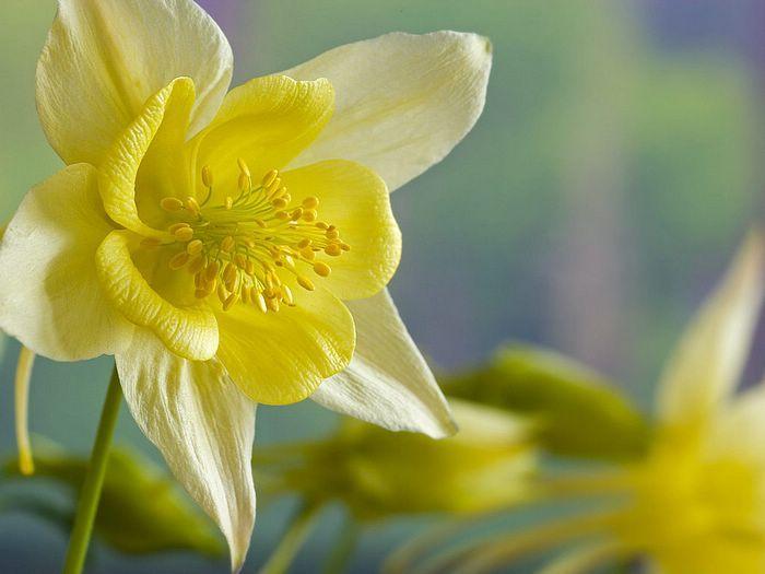 Pin By Stacy Temeyer On V Columbine Flower Yellow Flower Wallpaper Flower Desktop Wallpaper