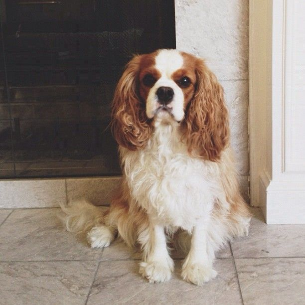King Charles Spaniel In 2020 King Charles Puppy King Charles Dog King Spaniel