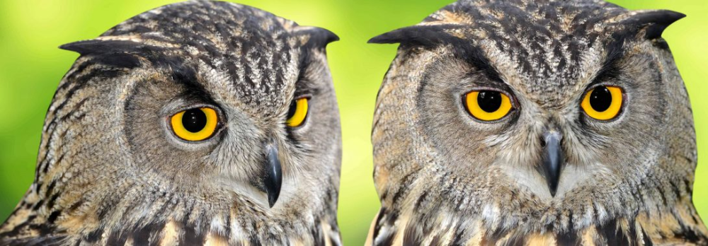 Owl Symbolism, Owl Meaning, Owl Totem, Owl Dream, and
