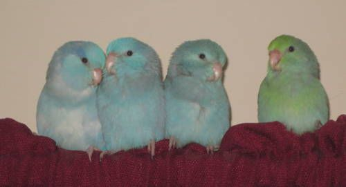 2 blue Parrotlet chicks Handfed Parrotlet, Bird