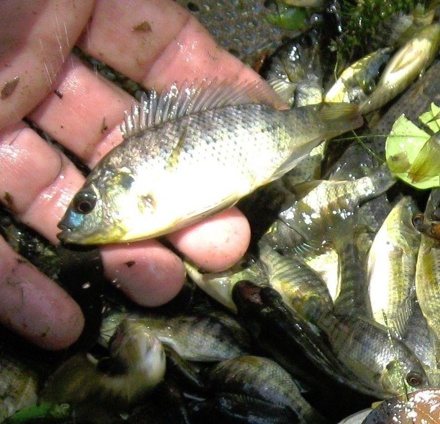 3 LIVE BLUE TILAPIA FINGERLINGS FISH FOR AQUARIUM KOI POND AND AQUAPONICS