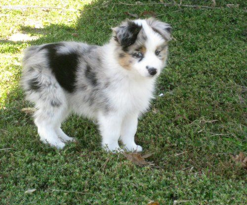 Mini Aussie I Just Love These Dogs Aussie Dogs Australian