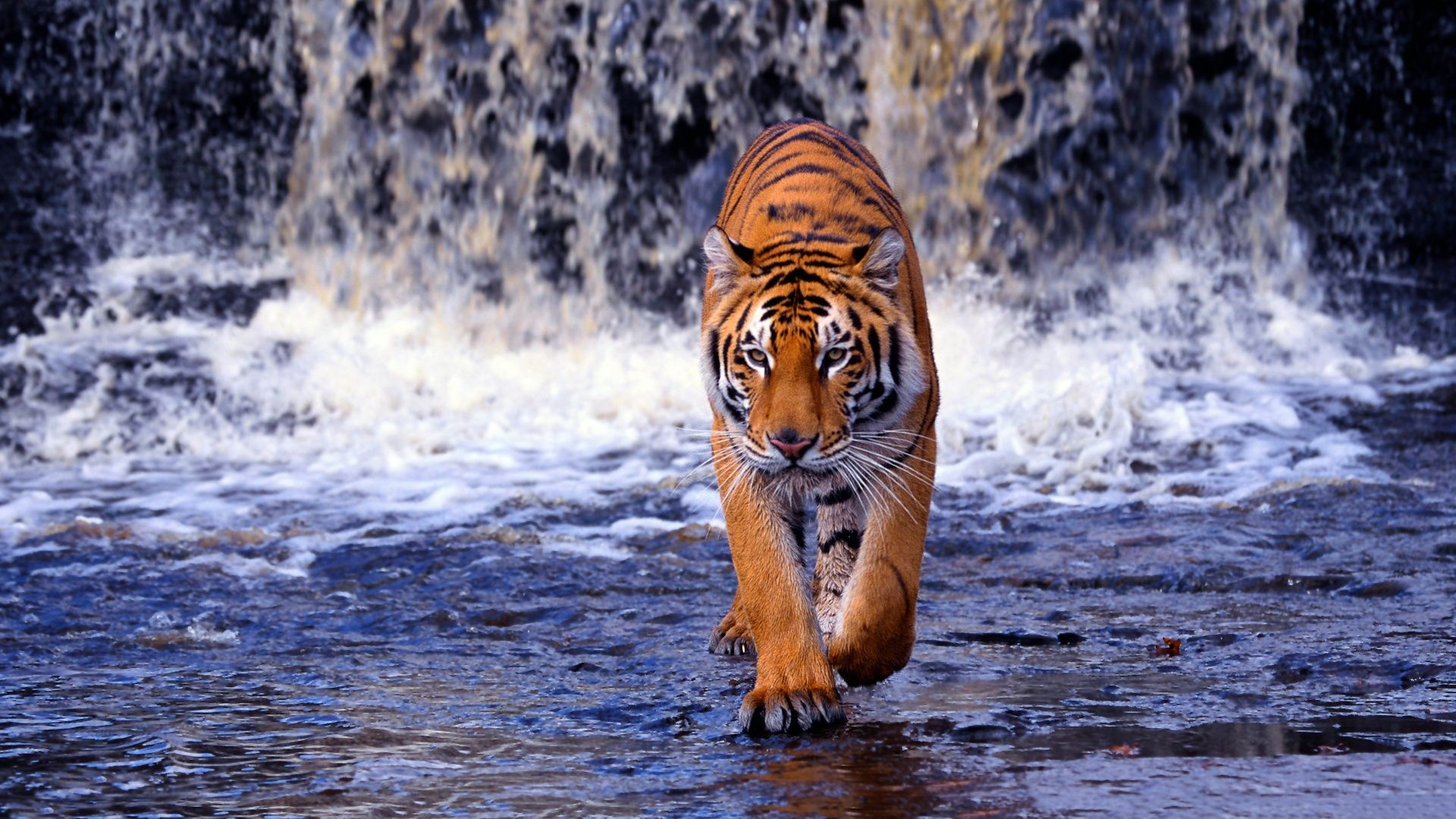 1920x1080 bengal tiger wallpaper | epic car wallpapers | pinterest