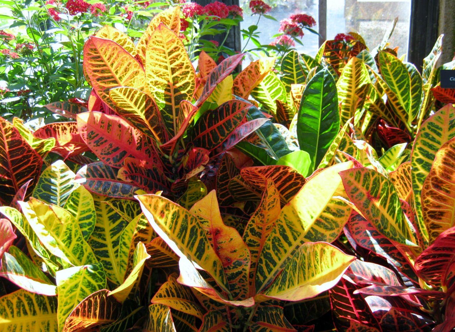 Plants wordless wednesday longwood croton houseplant for Croton plant
