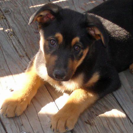 Townes the Australian Shepherd/Rottweiler Mix | (B) Dogs ...Australian Shepherd Rottweiler Mix Information