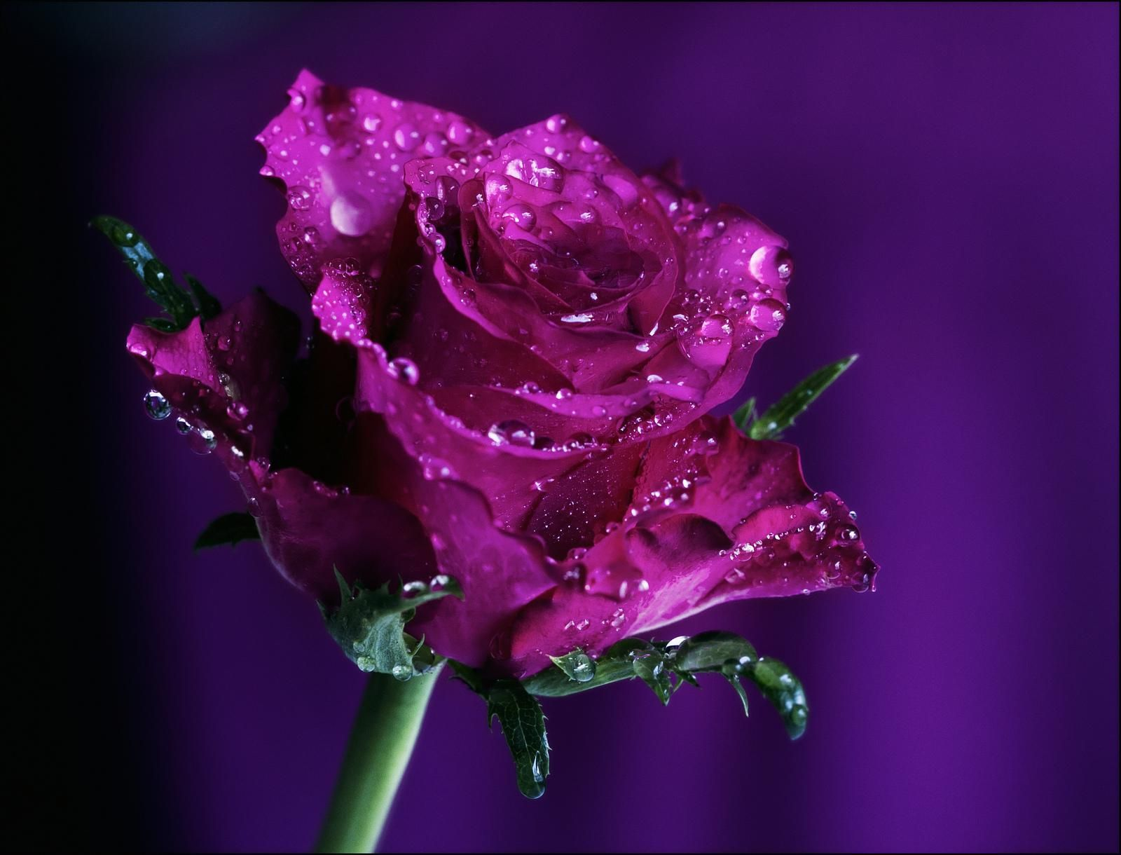 Purple Rose Background Wallpaper