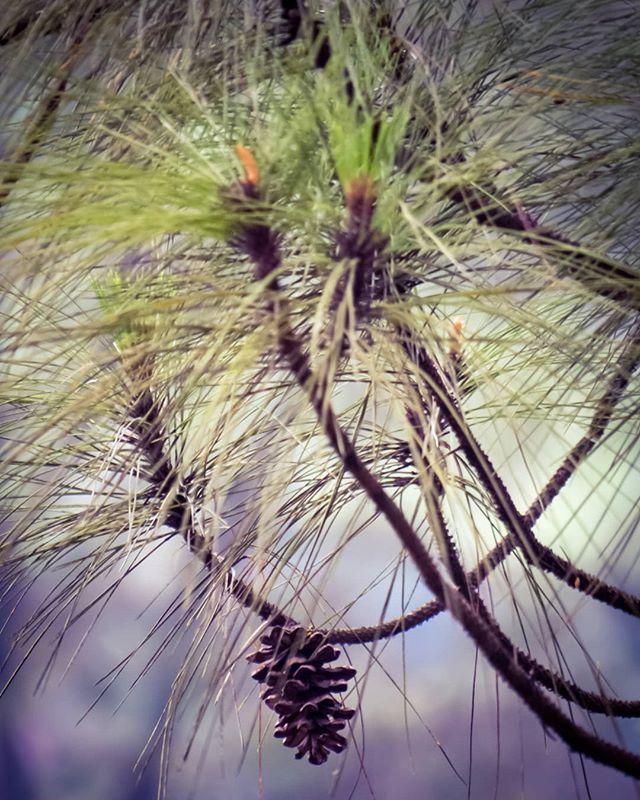 Zoom in.... Inilah buah pohon Pinus. Tahukah Anda Tusam