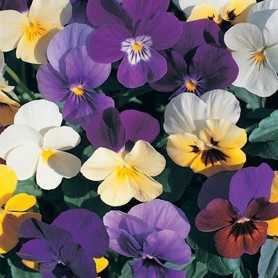 Viola Velour Professional Mix Flower Seeds Pansies Flowers Pansies
