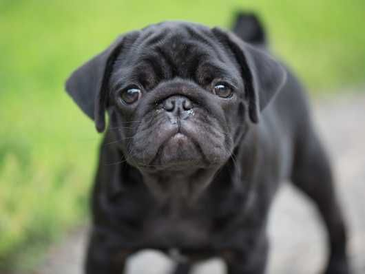 Vinny Kc Champion Show Lines Dog Breeds Black Pug Black Pug