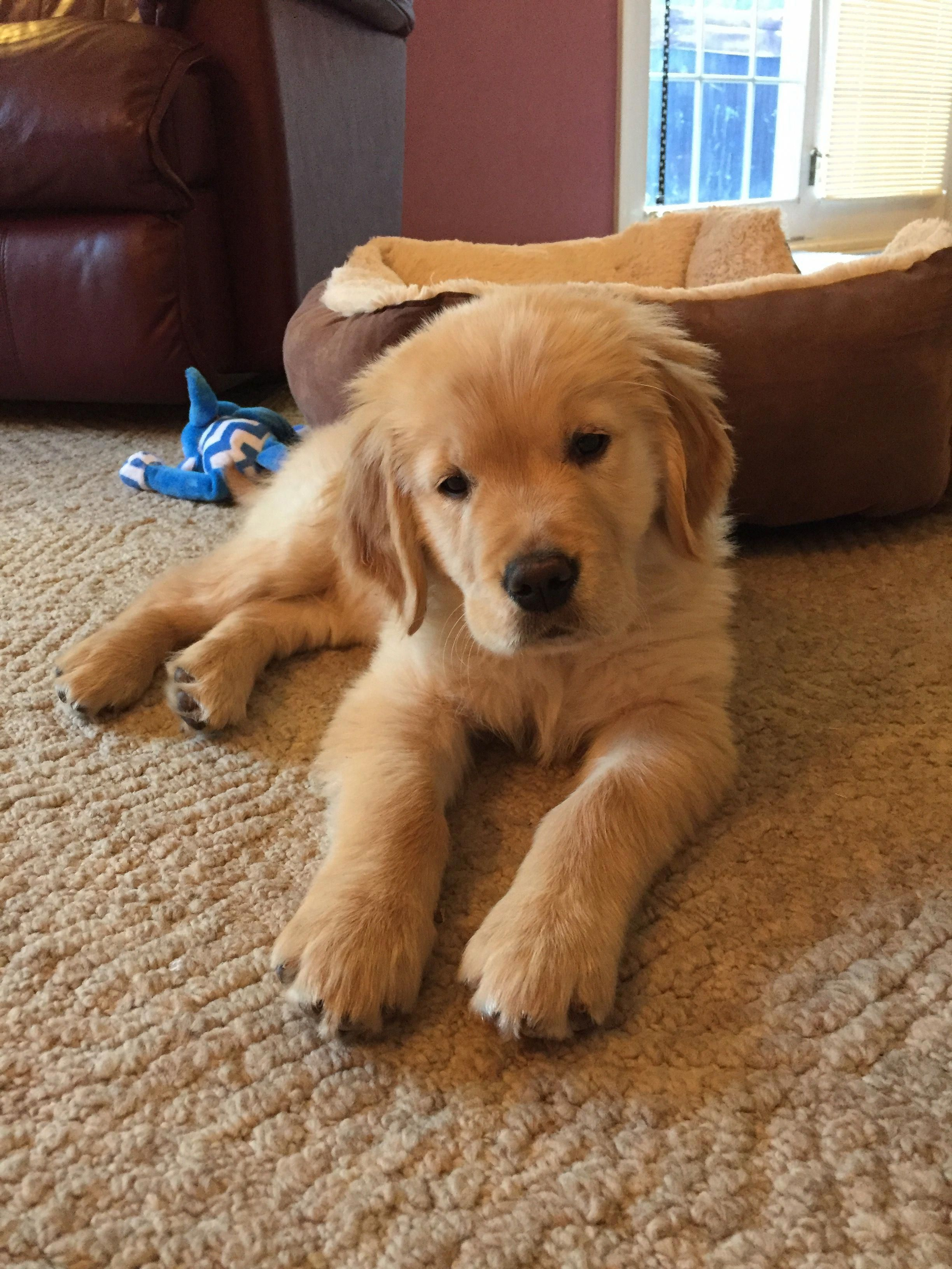 Golden Retriever Noble Loyal Companions With Images Best Dog