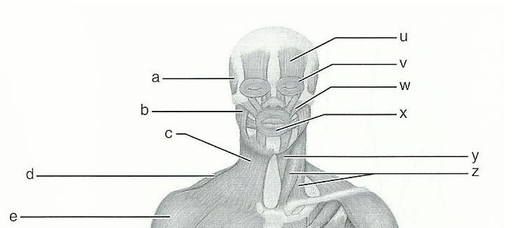 Exercise 15 Gross Anatomy Of The Muscular System Manual Guide