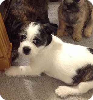 Image Result For Boston Terrier Yorkie Mix Yorkie Mix