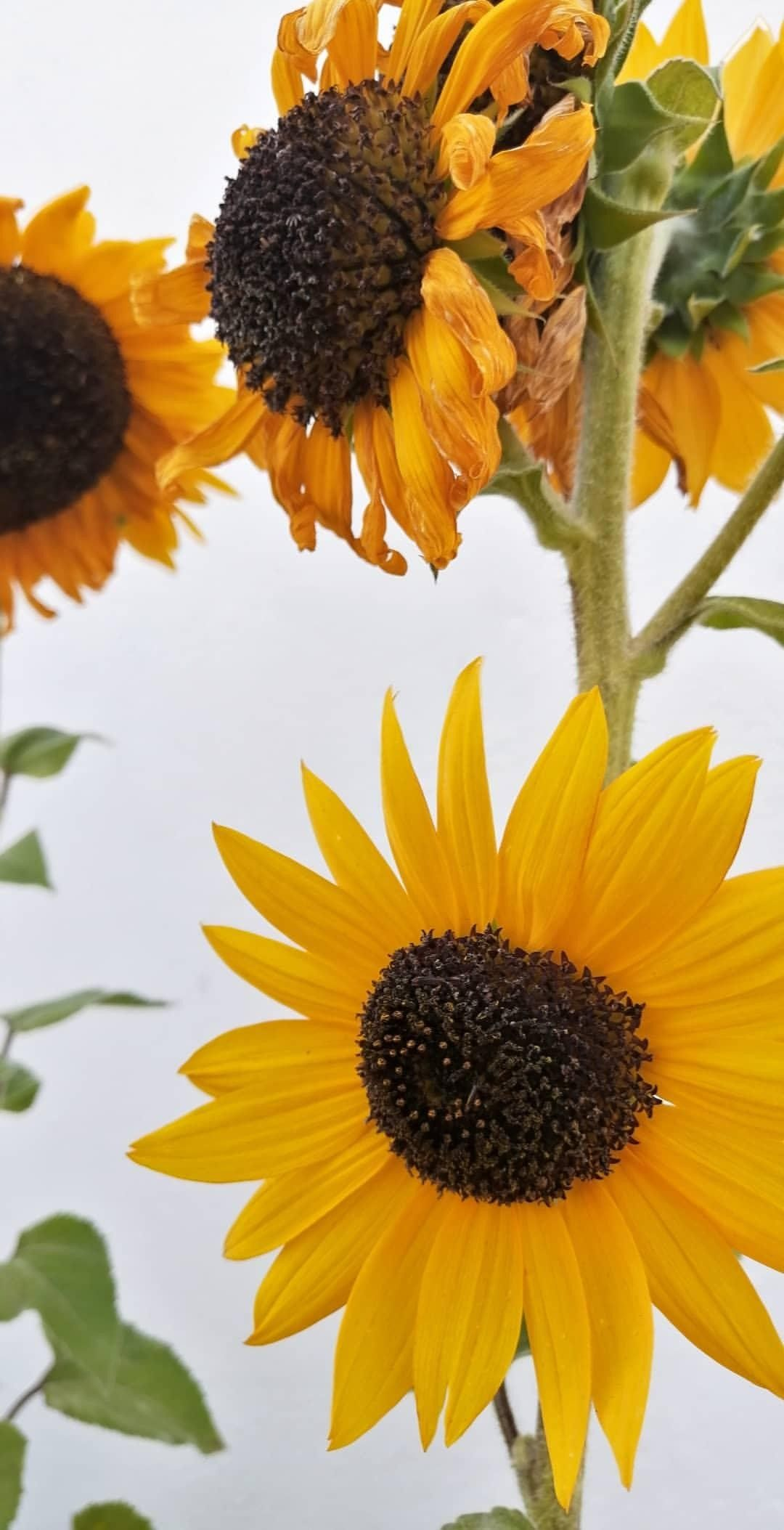 Sunflowers In 2020 Plants Sunflower Growing