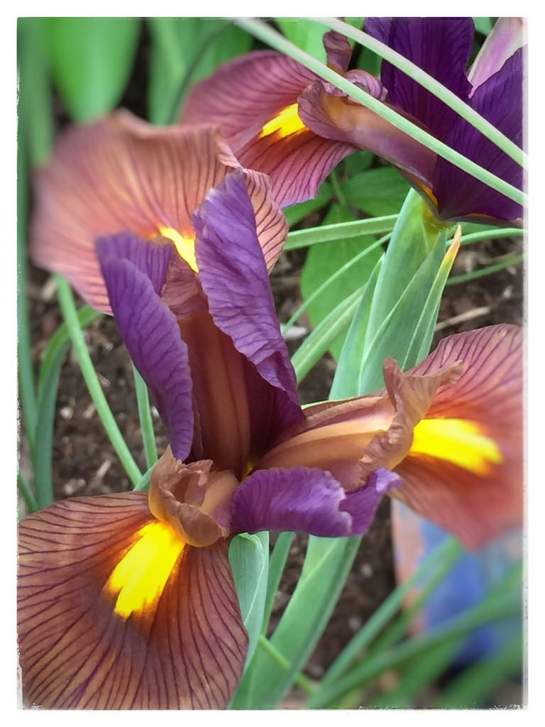 iris blossom purple fort worth texas garden 123fa backyard dream