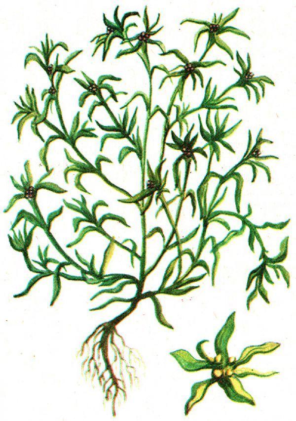 сушеница болотная