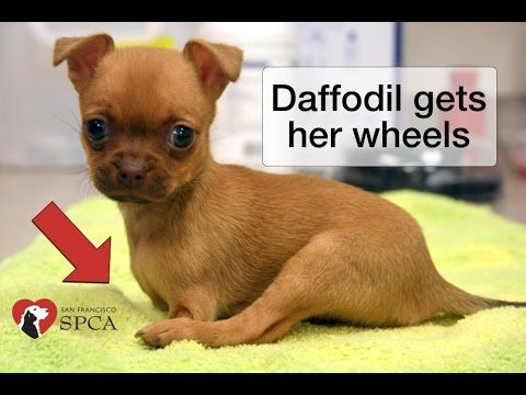 Daffodil S Wheels The Story Of A Puppy Born Without Front Legs