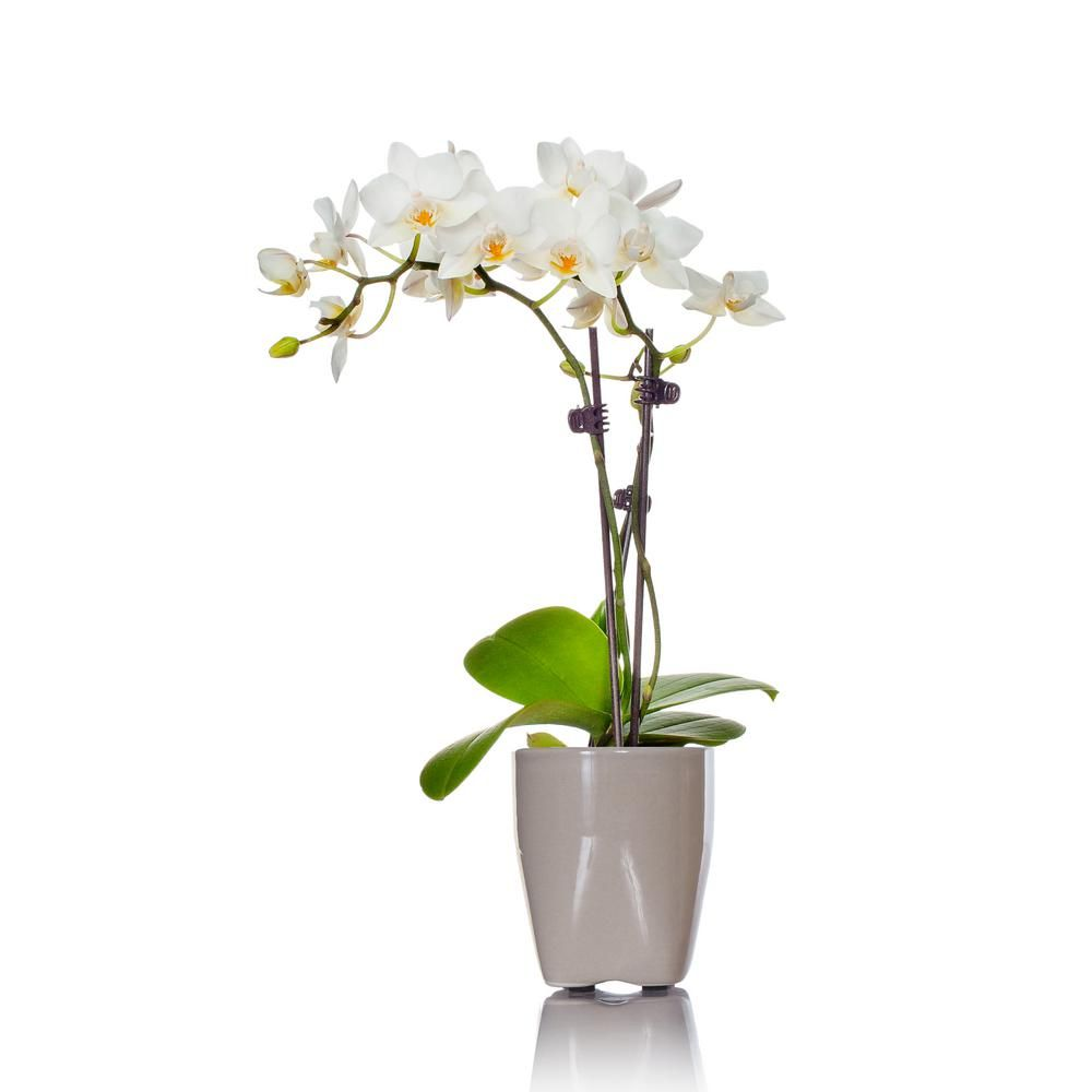 Just Add Ice White Mini Orchid Plant in Ceramic Pot ... Ice Garden Plants Home Depot on home depot flowers, home depot wildlife, home depot innovation center, home depot hedging, home depot birds, home depot gardening supplies, home depot lawns, home depot honey, home depot daffodils, home depot weeds, home depot horticulture, home depot ground covers, home depot palms, home depot eggs, home depot leaves, home depot plant code, home depot plant ligularia, home depot organic gardening, home depot shrubs, home depot equipment,
