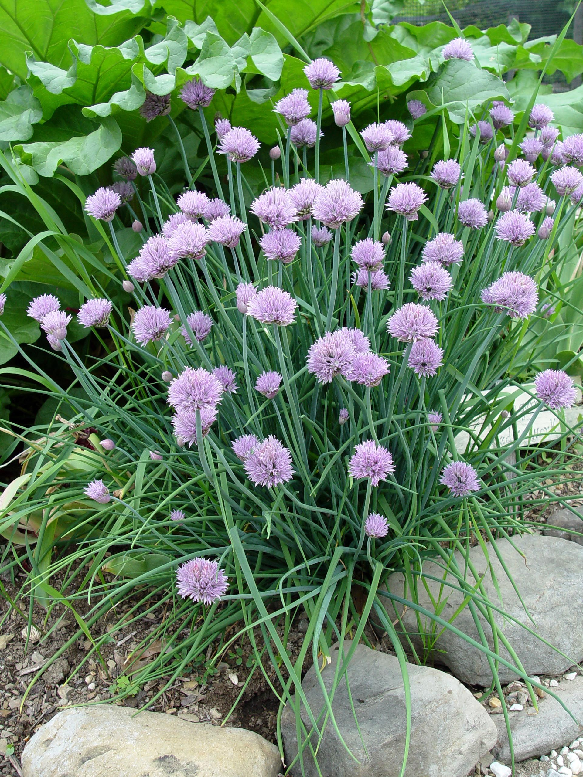 Onion Chives With Their Beautiful Purple Flowers Are Little Straws Of Mild Oniony Crunchiness And A Great Addition To Fo Chives Plant Chive Seeds Chives Garden