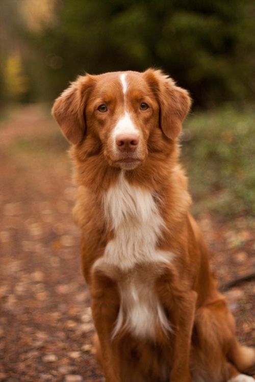 A Nova Scotia Duck Tolling Retriever In The Lane Photo By Antti Korpela Toller Dog Breeds Dogs Nova Scotia Duck Tolling Retriever