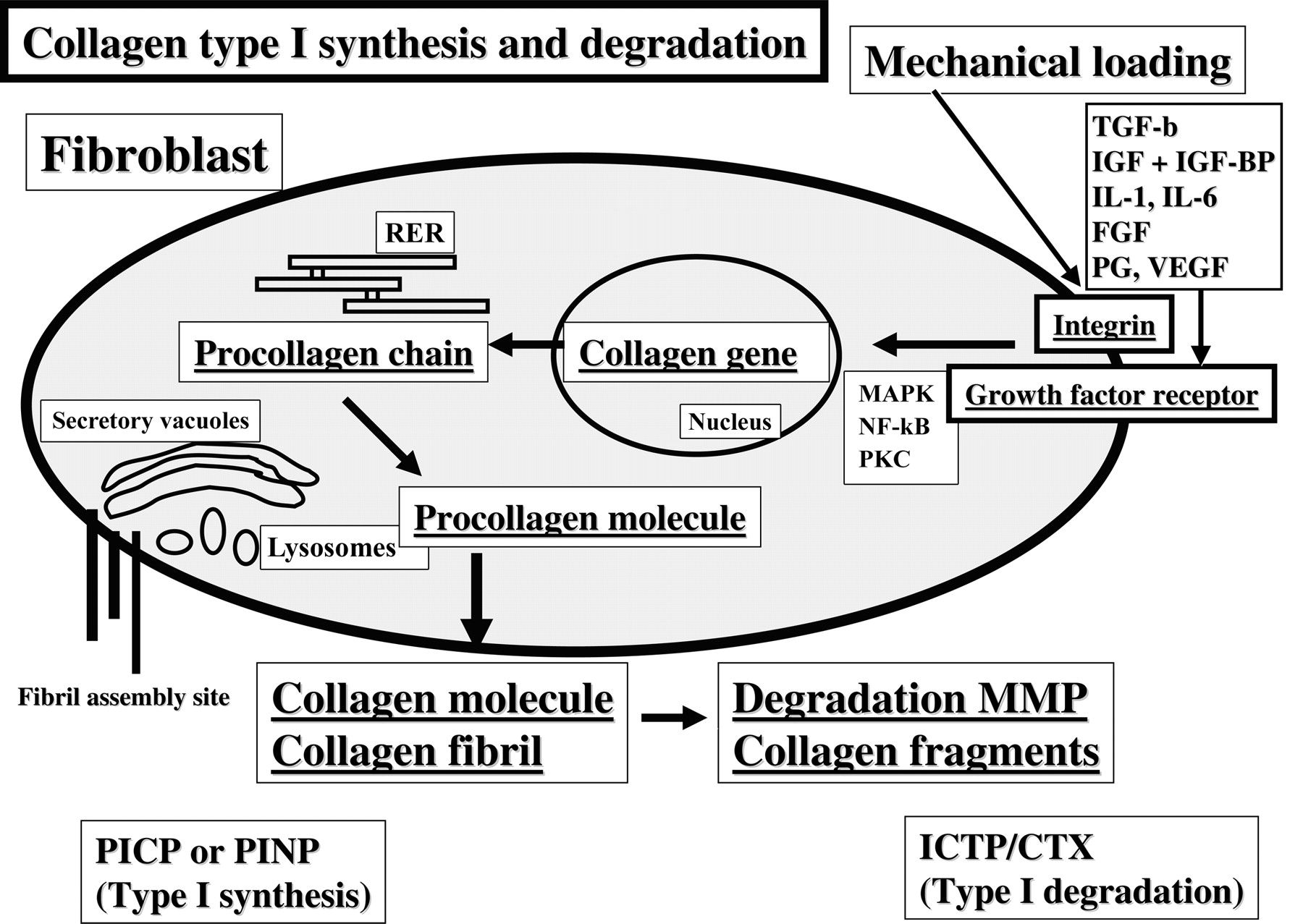 Collagen Synthesis Pathway