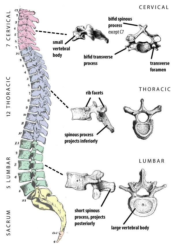 Types of Vertebrae Back Pain: Cervical, Thoracic, & Lumbar | Massage ...