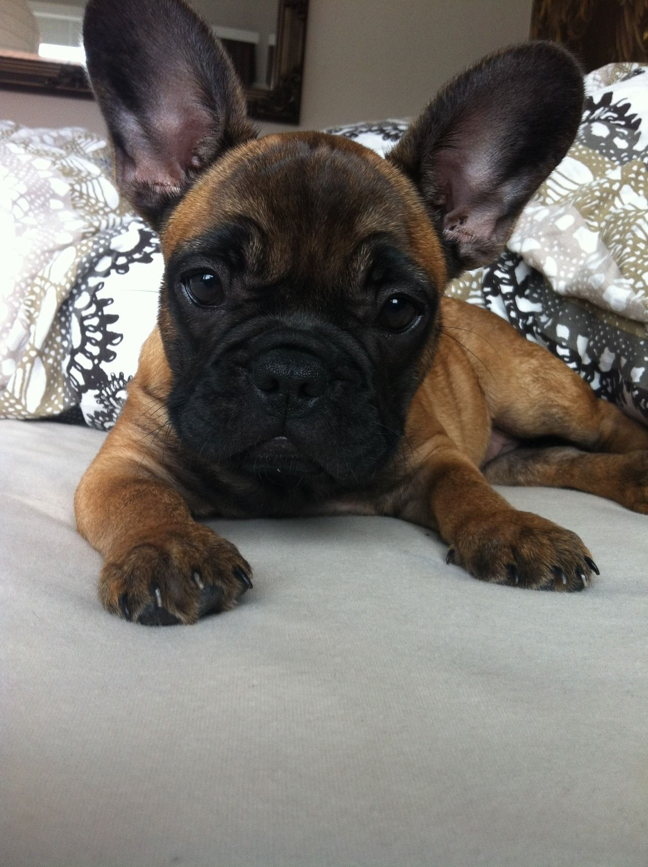 Pampered French Bulldog Puppy. bulldogpuppies buldog