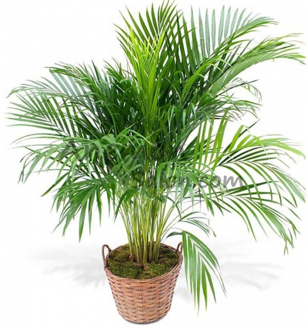 Palma Areca Plant Delivery And Sales In Yerevan Armenia In 2020 Plants Plant Delivery Plant Gifts