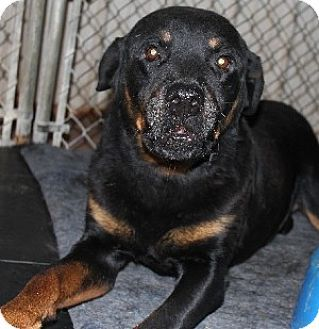 Savannah, MO Rottweiler Mix. Meet Rucker, a dog for