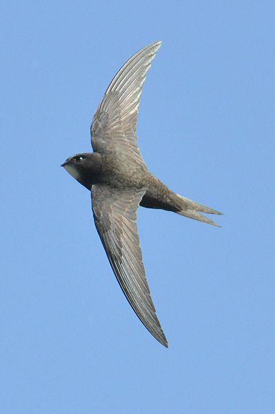 Bird 084 - ಸಾದಾ ಆಕಾಶಗುಬ್ಬಿ / Common Swift / Apus apus http://en.wikipedia.org/wiki/Common_swift , http://www.iucnredlist.org/details/22686800/0 , http://www.arkive.org/common-swift/apus-apus/