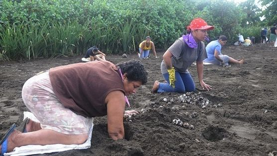 Javier Duarte, Governor of Edo. Veracruz Angel Quevedo and M. Mayor Tecolutla  Stop stealing turtle eggs on the beaches of Veracruz and in particular the town of Tecolutla, using the means at its disposal to stop this crime.