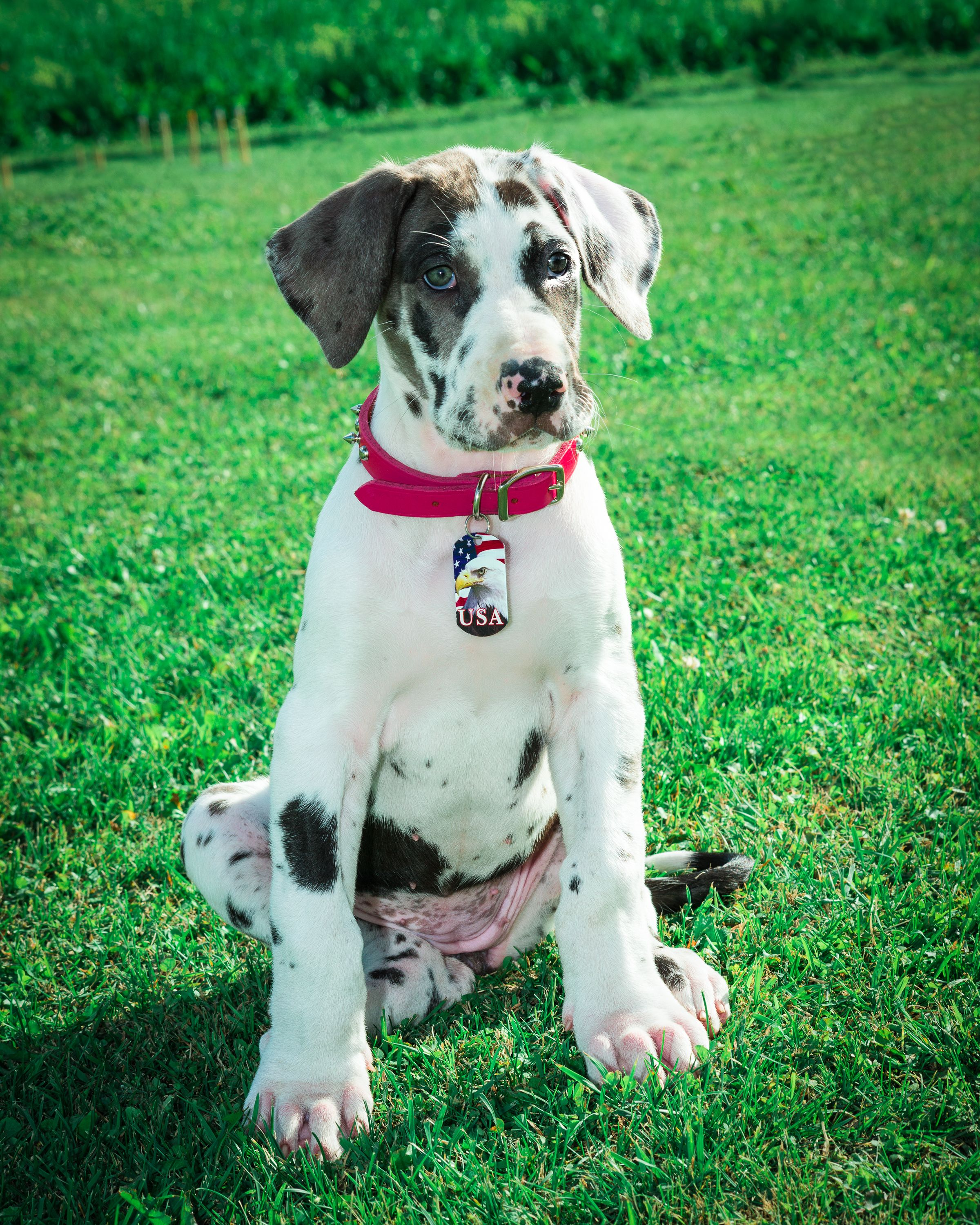 Pin On Great Dane Puppies