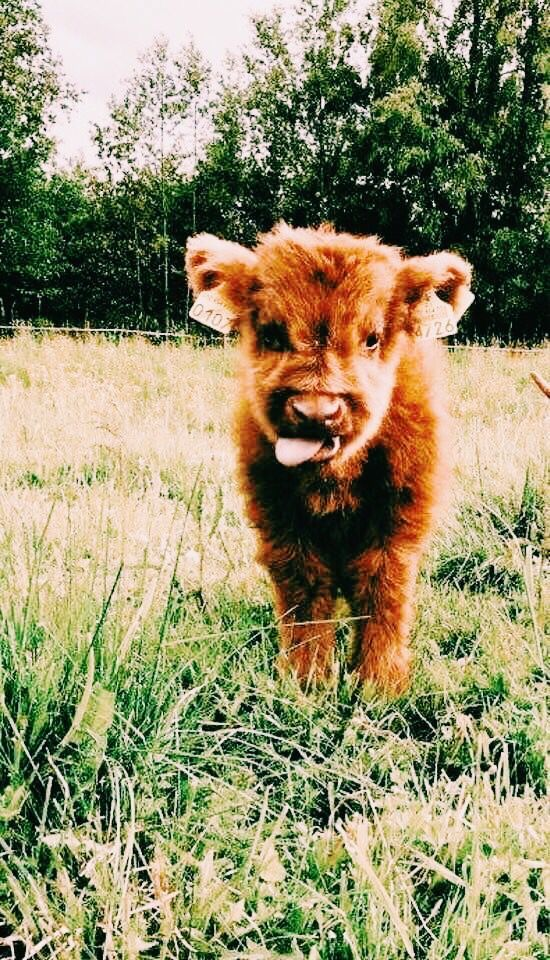 Pin By Damian Andre Alfonzo On Wallpapers Fluffy Cows Cute Baby Cow Cute Cows