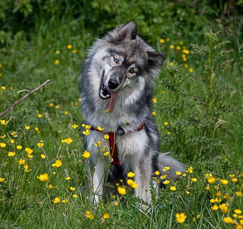 Long Haired Agouti Husky Agouti Husky Beautiful Dogs Animals