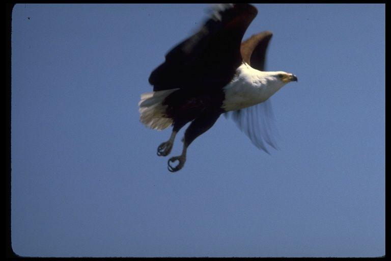 Haliaeetus vocifer; African Fish-eagle