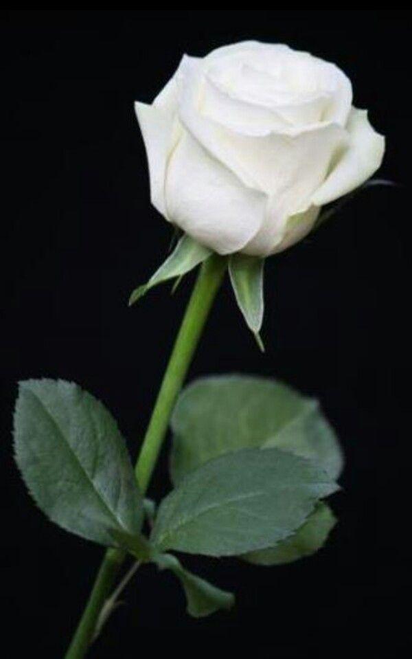 White Rose Arranjos De Flores Botoes De Rosa Belas Flores