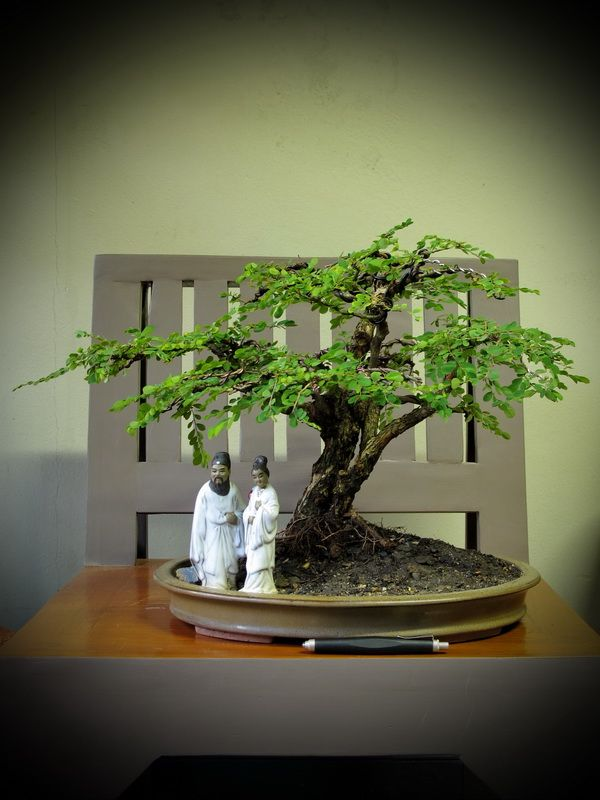 Thanks Nature S Hobby Bonsai บอนไซ Shohin Mame Miniature