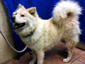 Fluffy Is An Adoptable Chow Chow Dog In Downey Ca Dog