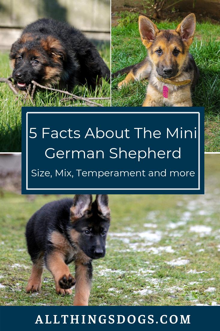 The Mini German Shepherd Miniature German Shepherd German Shepherd German Dogs