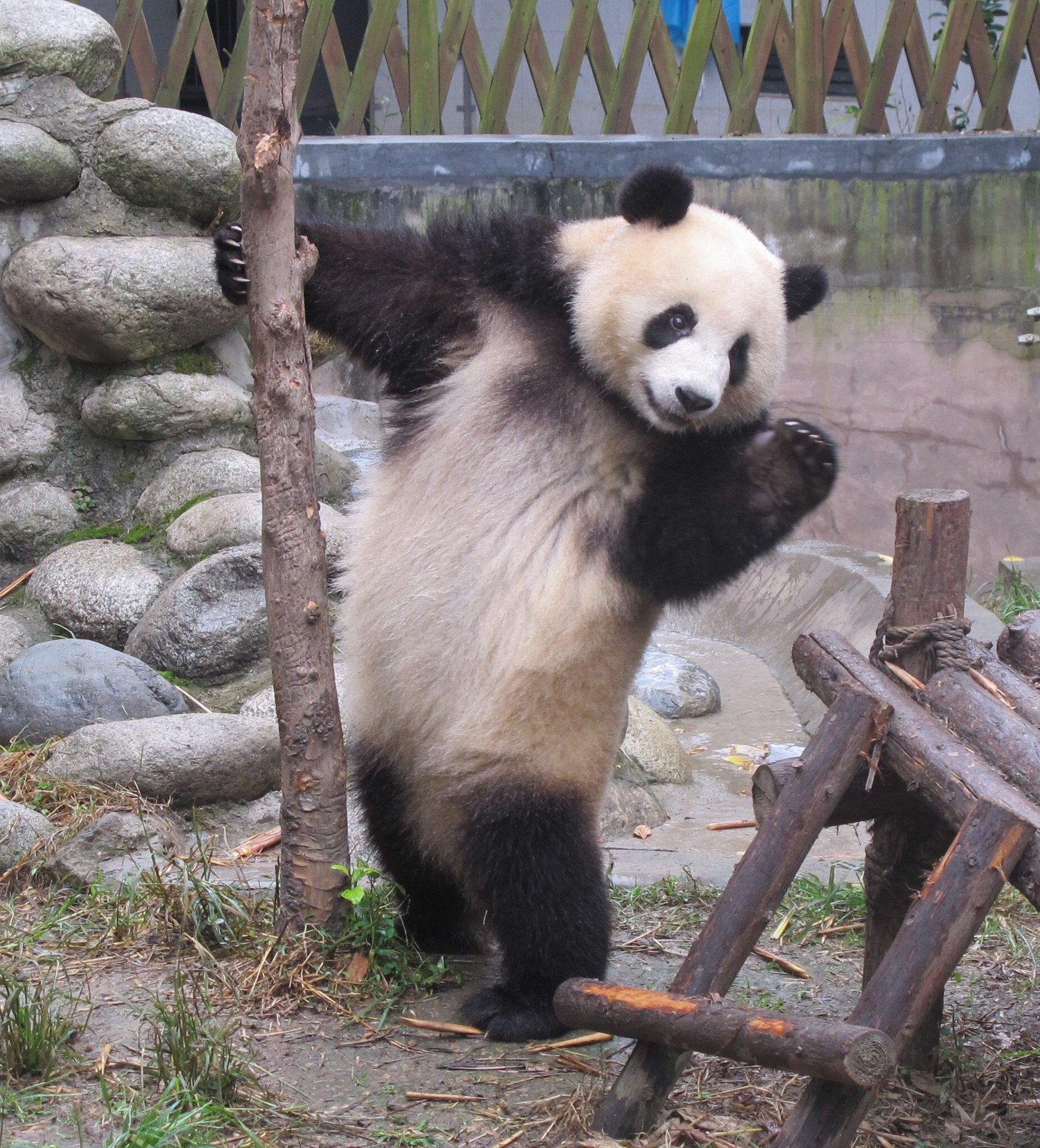 Waving panda. My sister-in-law took this great picture!