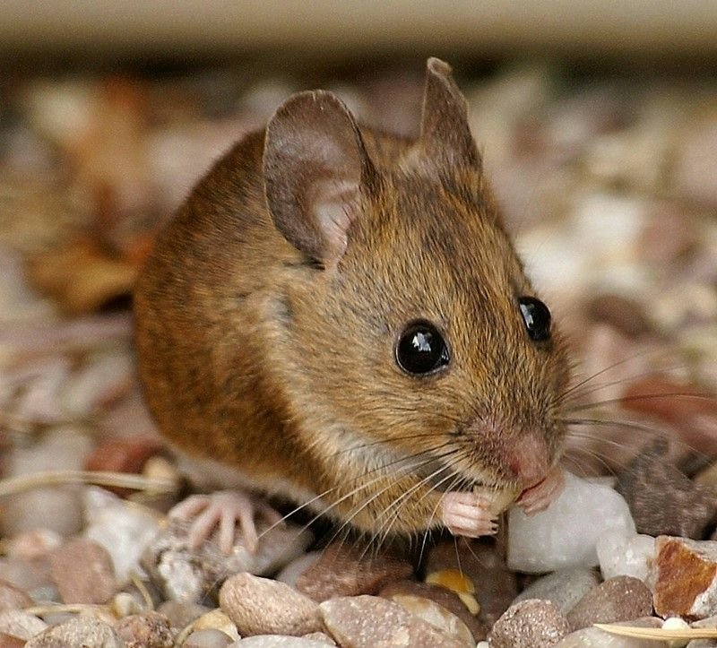 Wood Mouse Pet Mice Animals Wild Cute Animal Pictures